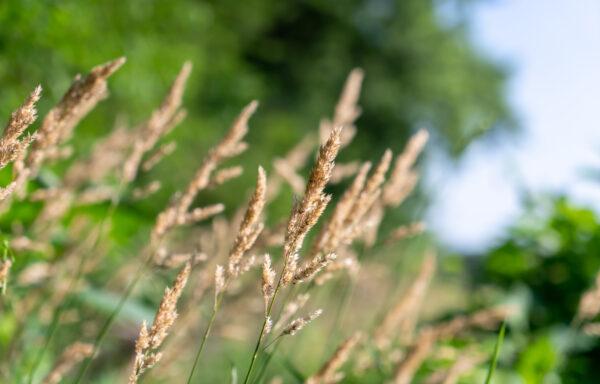 Agrostis alba / Redtop