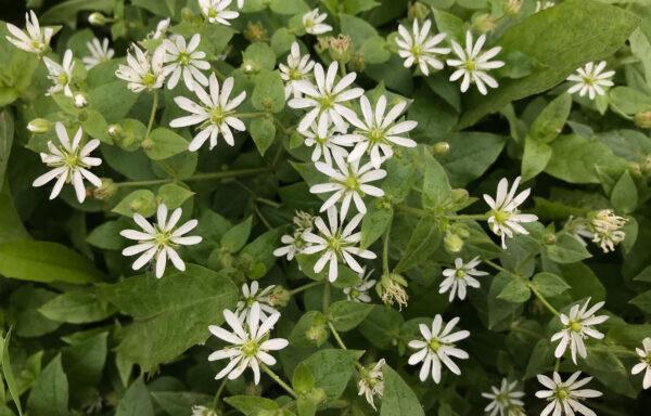 Aster divaricatus / White Wood Aster