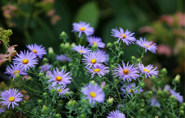 Aster laevis / Smooth Blue Aster