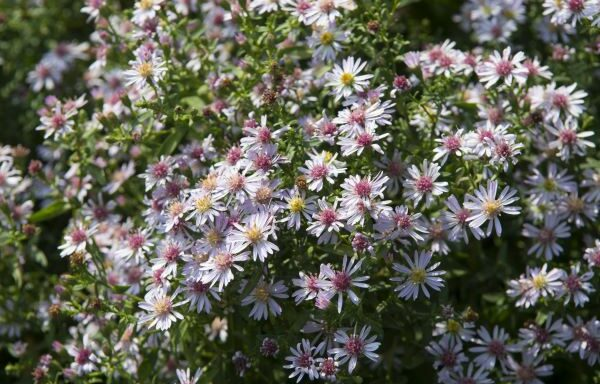 Aster lateriflorus / Calico Aster