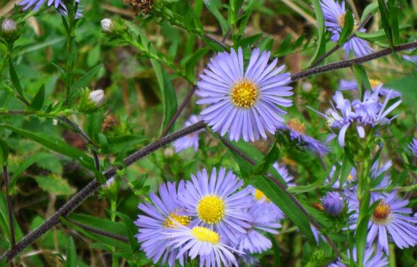 Aster puniceus / Purple Stemmed Aster