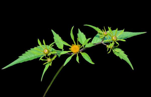 Bidens frondosa / Common Beggarticks