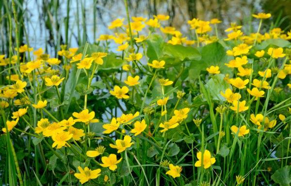 Caltha palustris / Marsh Marigold