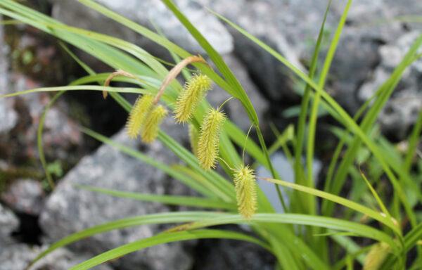 Carex hystericina / Porcupine Sedge