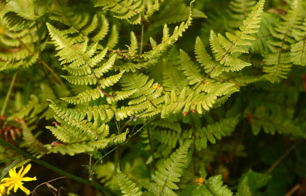 Dryopteris marginalis / Eastern Wood Fern