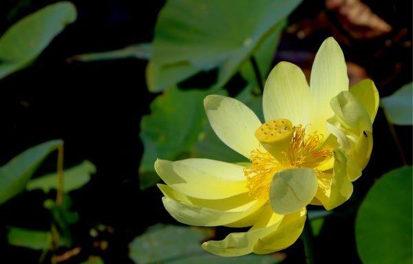 Nelumbo lutea / Native Yellow Lotus