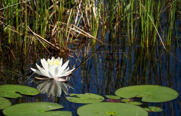 Nymphaea odorata / Fragrant Waterlily