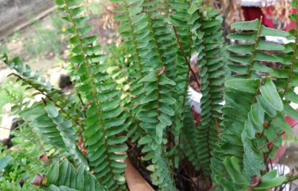 Polystichum acrostichoides / Christmas Fern