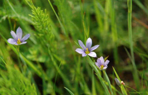 Sisyrinchium angustifolium / Blue-Eyed Grass