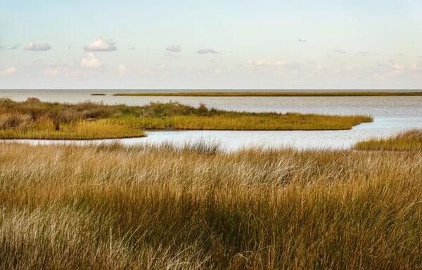 Spartina patens / Salt Meadow Cordgrass