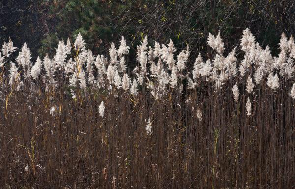 Spartina pectinata / Prairie Cordgrass