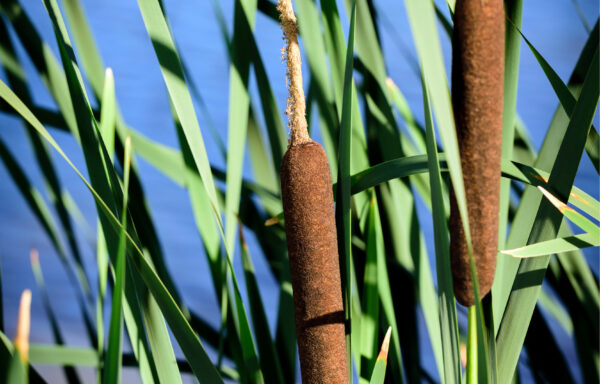 Typha angustifolia / Narrowleaf Cattail