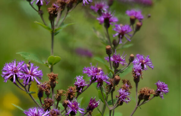 Vernonia noveboracensis / New York Ironweed