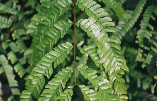 Woodwardia virginica / Virginia Chain Fern