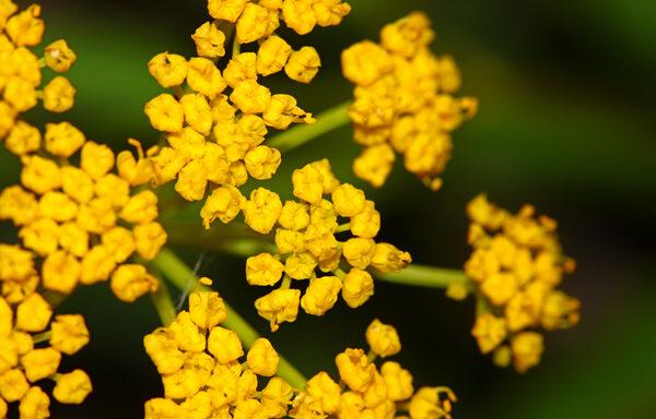 Zizia aurea / Golden Alexander